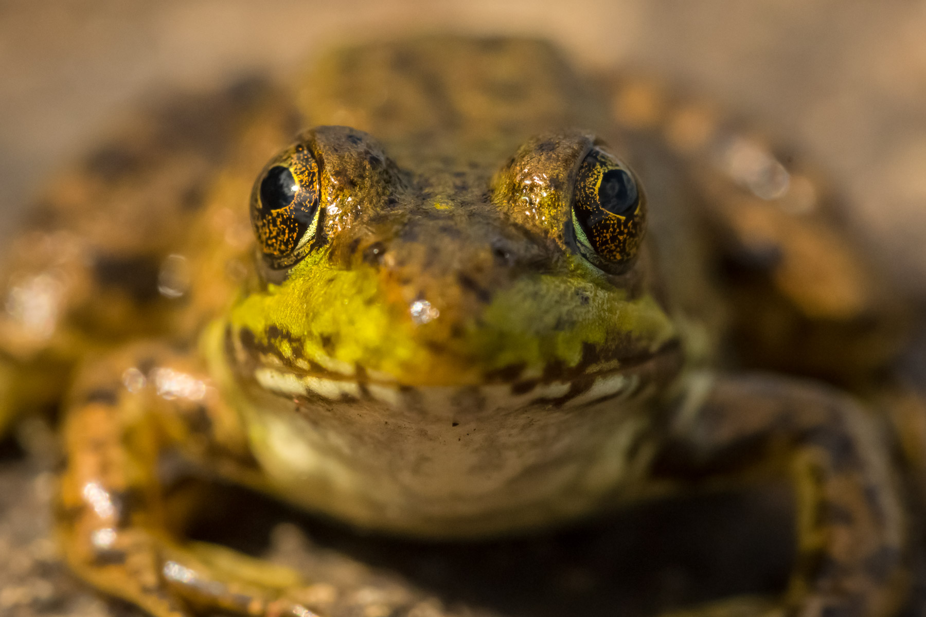 Boundary Waters Frog Photo